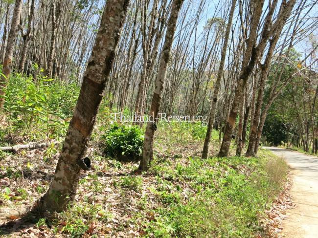 Kautschuk-Bäume und Ernte in Thailand